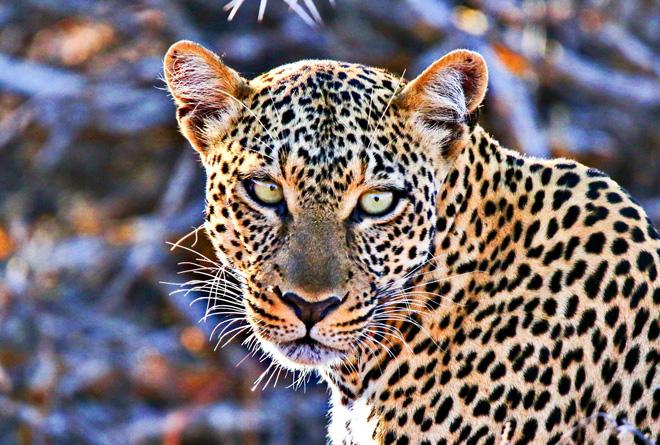 ghepardo_Kenya