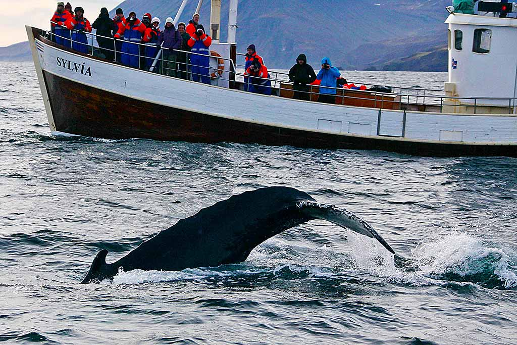 islanda-balena