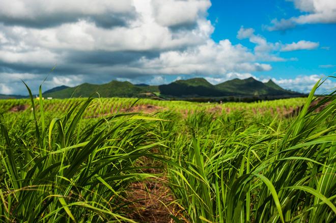 piantagioni di zucchero