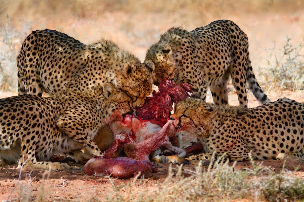sudafrica_ghepardi
