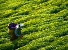 Tè verde, storia e benefici