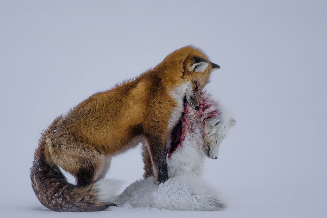 © Don Gutoski (Canada), A tale of two foxes Wildlife Photographer of the Year 2015